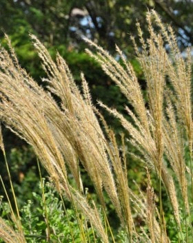 MISCANTHUS ARABESQUE