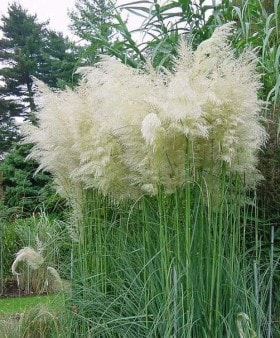 CORTADERIA SELLONA WHITE FEATHER